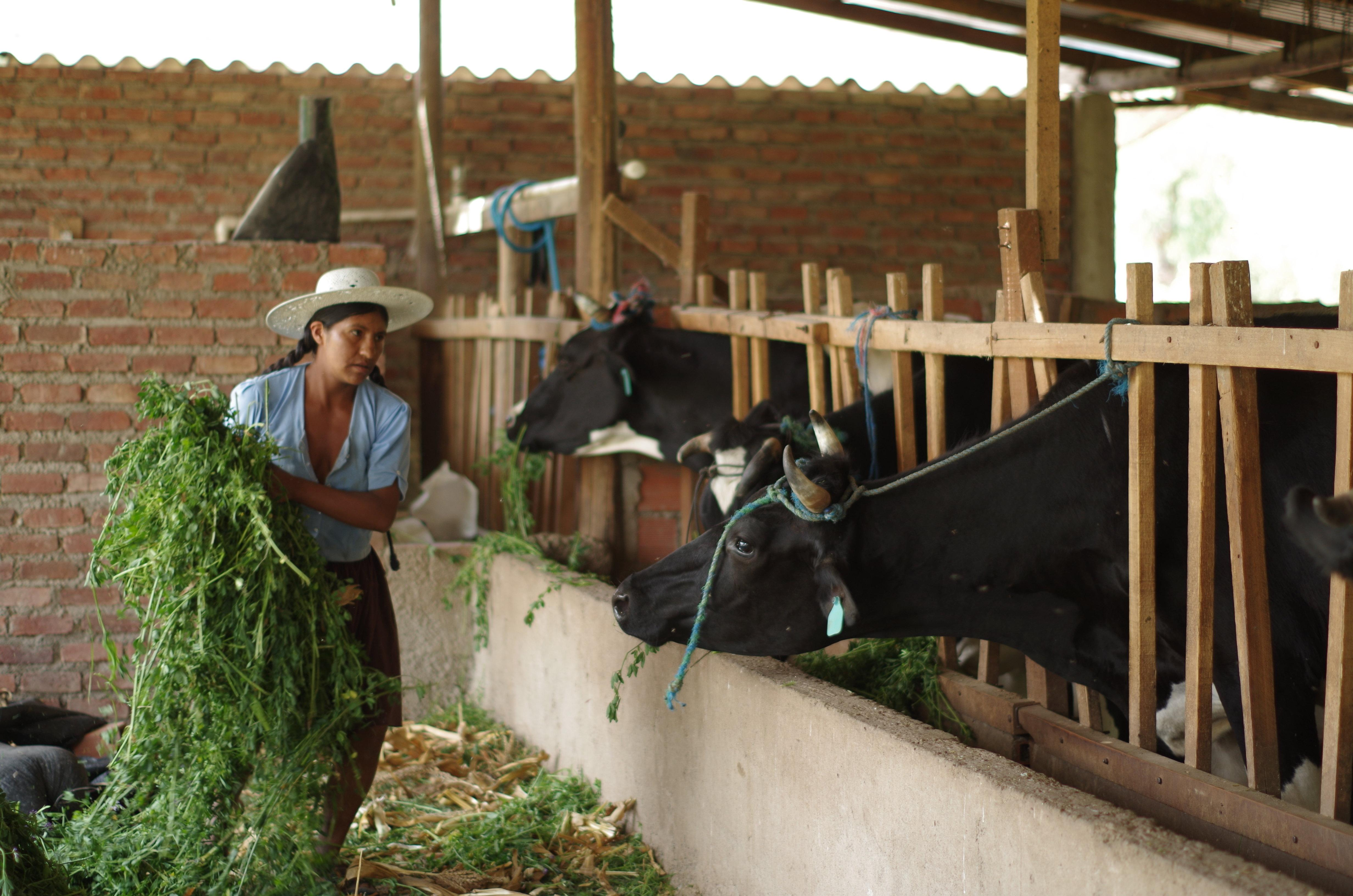 Beneficial micro-organisms for resilient dairy farming