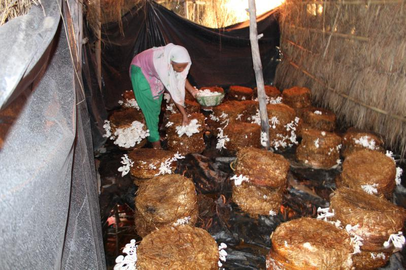 NCF: Mushroom farming generates new income streams for women